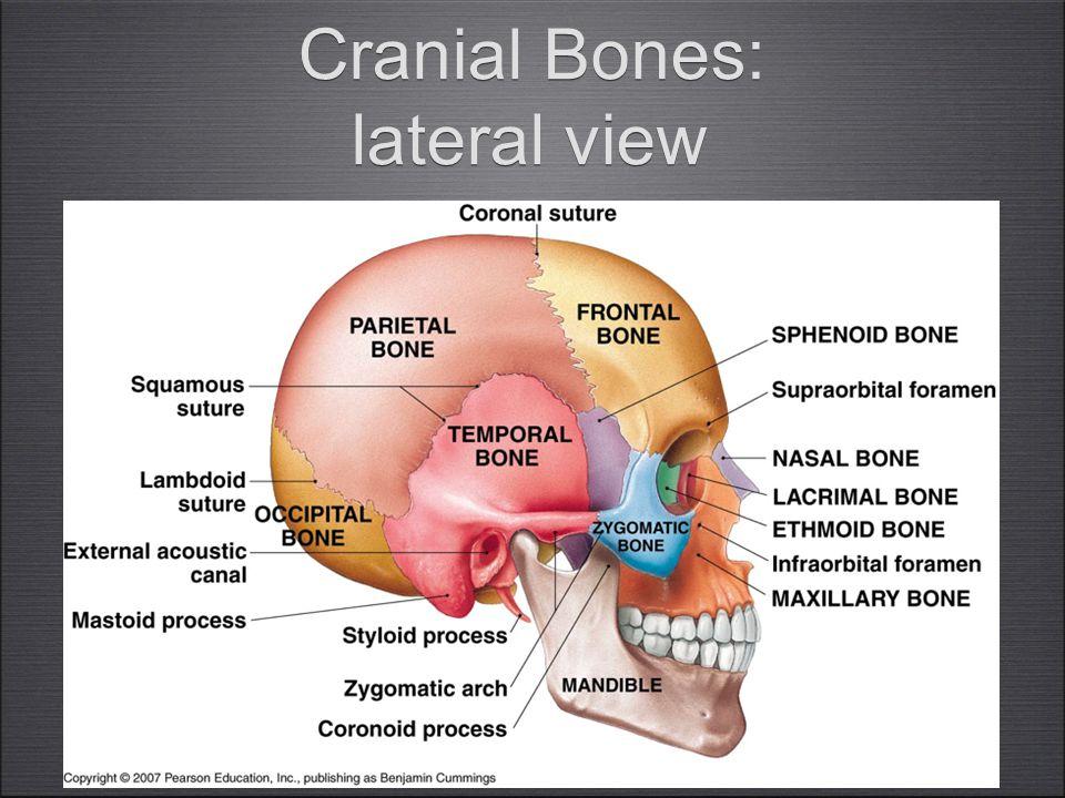 15 Cranial Bones: lateral view