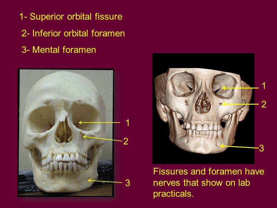 1- Superior orbital fissure 2- Inferior orbital foramen 3- Mental foramen 1 2 3 1 2 3 Fissures and foramen have nerves that show on lab practicals.