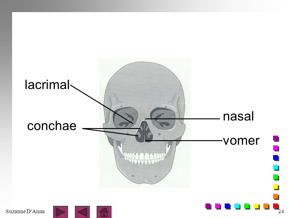 Suzanne D Anna25 Maxillae n paired bones n join at midline to form upper jaw n articulates with all bones of face except mandible n form part of floor of orbits n form lateral walls and floor of nasal cavity n contain inferior orbital foramen n contain maxillary sinus which empty into nasal cavity
