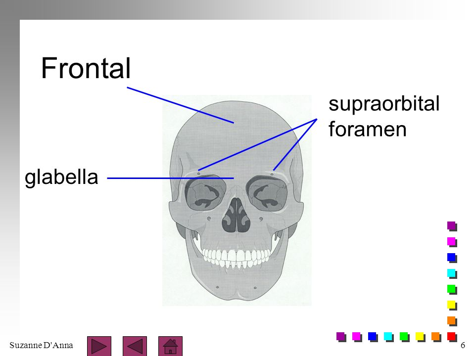 Suzanne D Anna7 Parietal n paired, posterior to frontal bone n forms sides and roof of cranium n bones meet at midline to form - sagittal suture n posteriorly, bones merge with occipital bone to form - lambdoid suture n lateral sides of skill merge with temporal bone to form - squamous suture