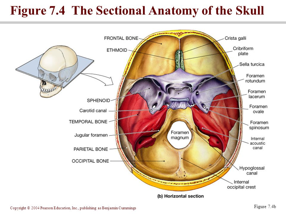 Copyright © 2004 Pearson Education, Inc., publishing as Benjamin Cummings Figure 7.5 The Occipital and Parietal Bones Figure 7.5