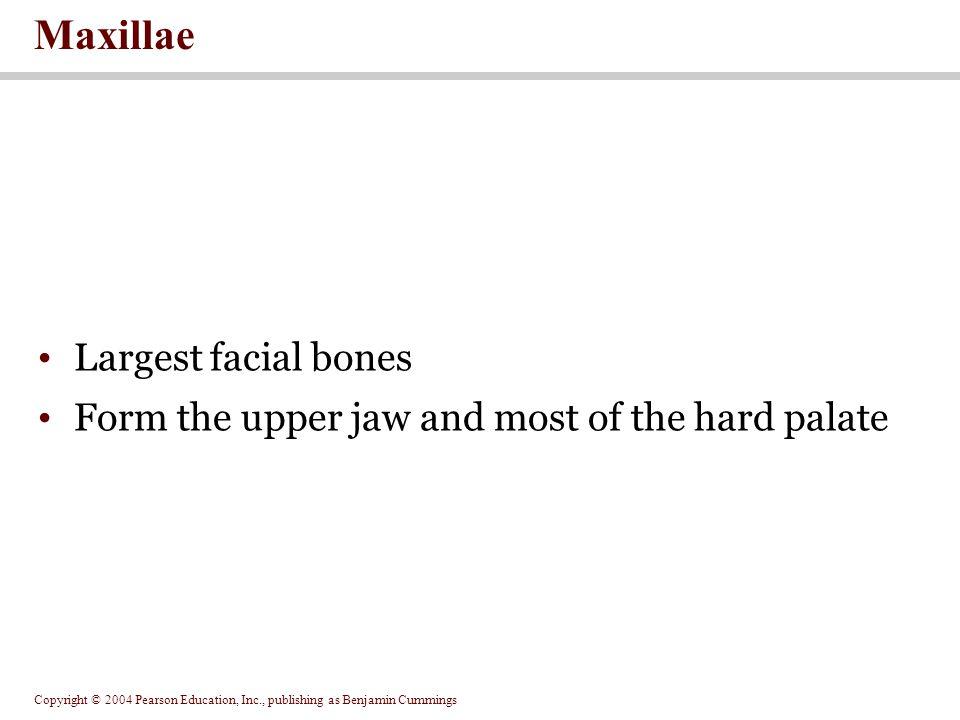 Copyright © 2004 Pearson Education, Inc., publishing as Benjamin Cummings Figure 7.10 The Maxillary and Palatine Bones Figure 7.10