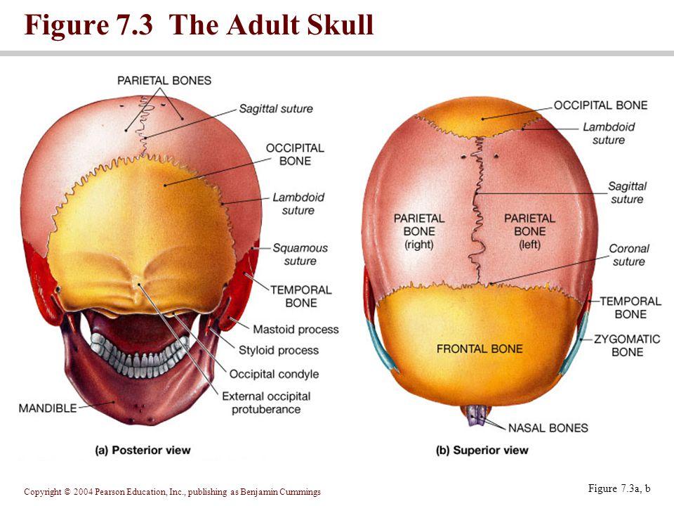 Copyright © 2004 Pearson Education, Inc., publishing as Benjamin Cummings Figure 7.3 The Adult Skull Figure 7.3c