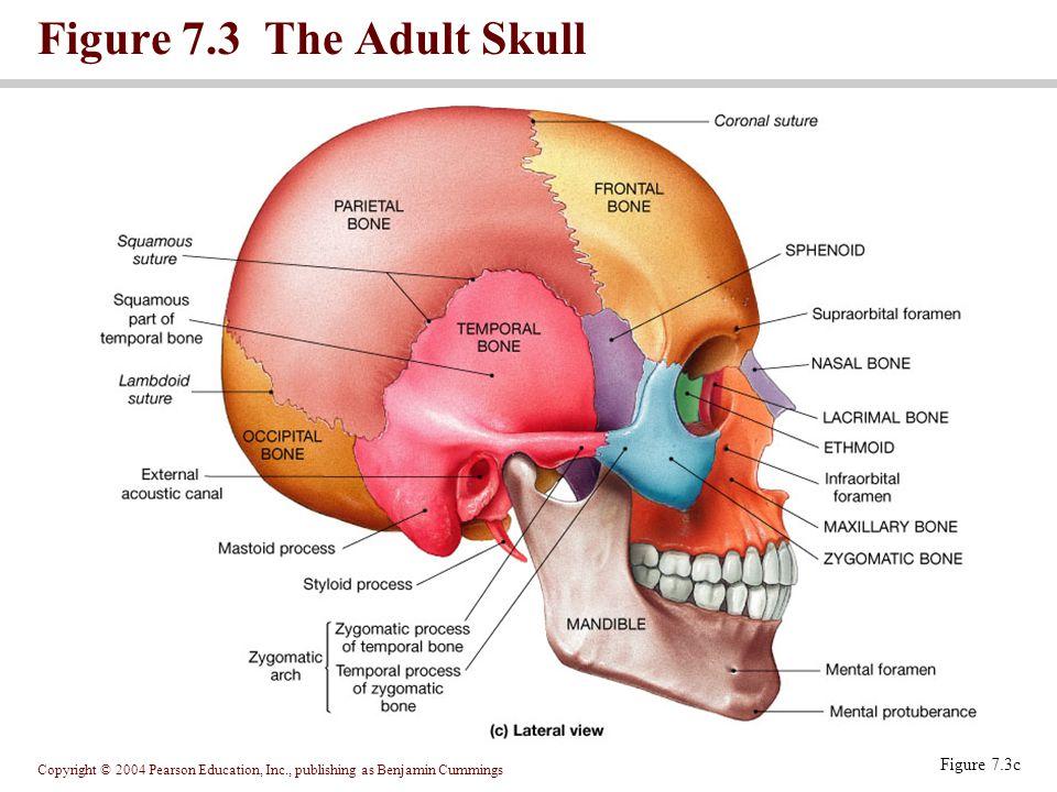 Copyright © 2004 Pearson Education, Inc., publishing as Benjamin Cummings Figure 7.3 The Adult Skull Figure 7.3d