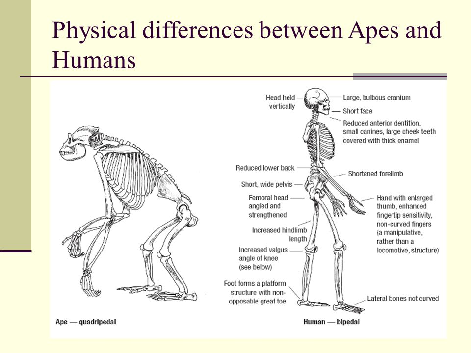Physical differences between Apes and Humans