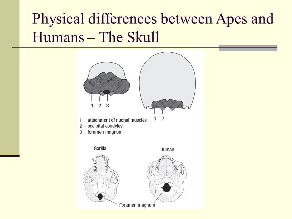 Physical differences between Apes and Humans – The Skull