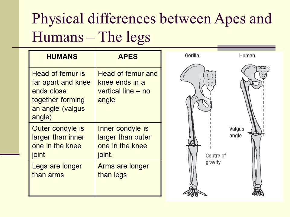Physical differences between Apes and Humans – The legs HUMANSAPES Head of femur is far apart and knee ends close together forming an angle (valgus angle) Head of femur and knee ends in a vertical line – no angle Outer condyle is larger than inner one in the knee joint Inner condyle is larger than outer one in the knee joint.