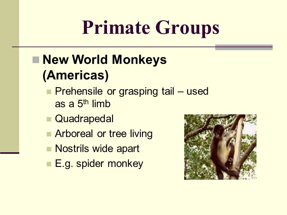 Primate Groups New World Monkeys (Americas) Prehensile or grasping tail – used as a 5 th limb Quadrapedal Arboreal or tree living Nostrils wide apart E.g.