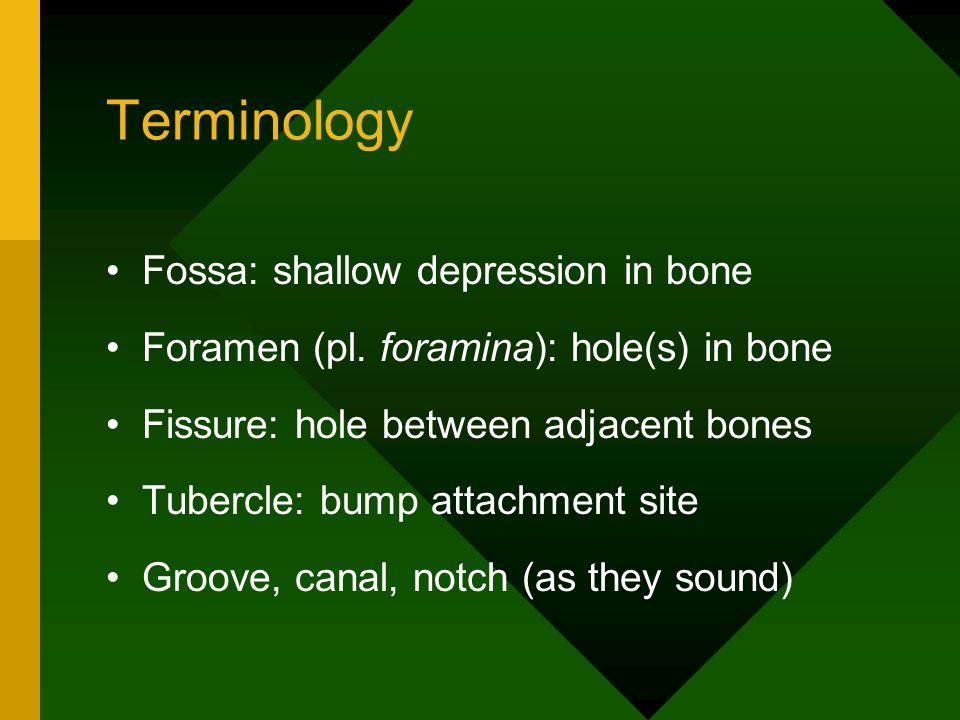 Terminology Fossa: shallow depression in bone Foramen (pl. foramina): hole(s) in bone Fissure: hole between adjacent bones Tubercle: bump attachment s