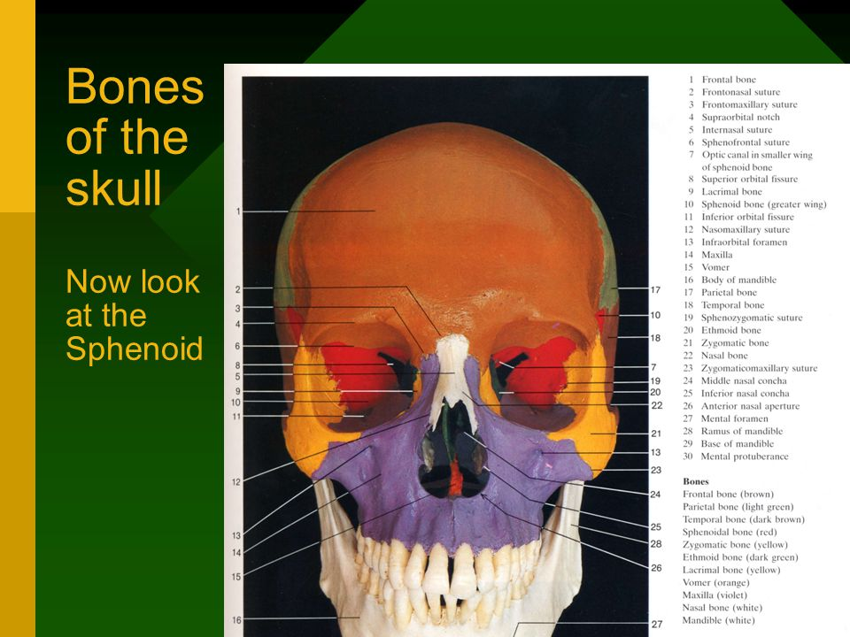 Bones of the skull Now look at the Sphenoid