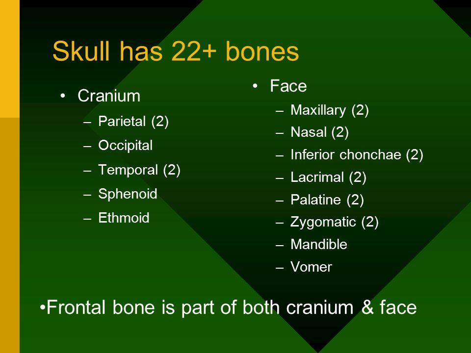 Skull has 22+ bones Cranium –Parietal (2) –Occipital –Temporal (2) –Sphenoid –Ethmoid Face –Maxillary (2) –Nasal (2) –Inferior chonchae (2) –Lacrimal