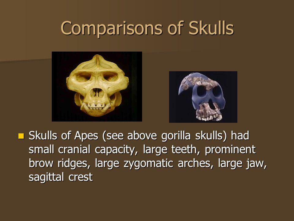 Comparisons of Skulls Skulls of Apes (see above gorilla skulls) had small cranial capacity, large teeth, prominent brow ridges, large zygomatic arches, large jaw, sagittal crest Skulls of Apes (see above gorilla skulls) had small cranial capacity, large teeth, prominent brow ridges, large zygomatic arches, large jaw, sagittal crest
