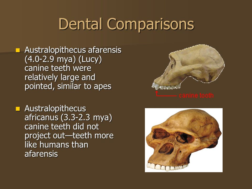 Dental Comparisons Australopithecus afarensis (4.0-2.9 mya) (Lucy) canine teeth were relatively large and pointed, similar to apes Australopithecus afarensis (4.0-2.9 mya) (Lucy) canine teeth were relatively large and pointed, similar to apes Australopithecus africanus (3.3-2.3 mya) canine teeth did not project out—teeth more like humans than afarensis Australopithecus africanus (3.3-2.3 mya) canine teeth did not project out—teeth more like humans than afarensis