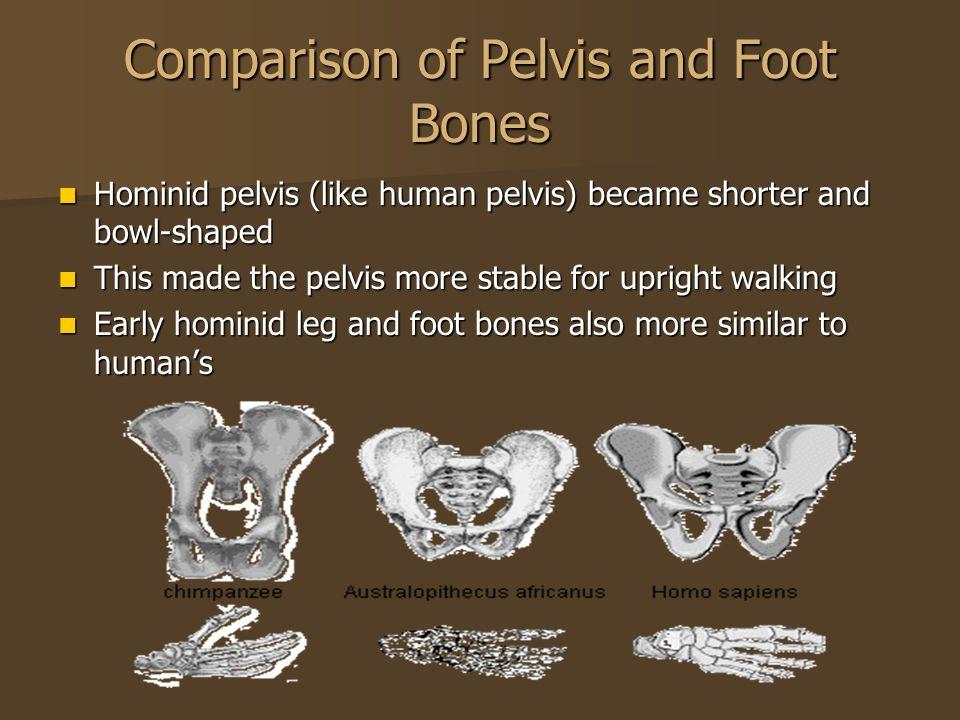 Comparison of Pelvis and Foot Bones Hominid pelvis (like human pelvis) became shorter and bowl-shaped Hominid pelvis (like human pelvis) became shorte