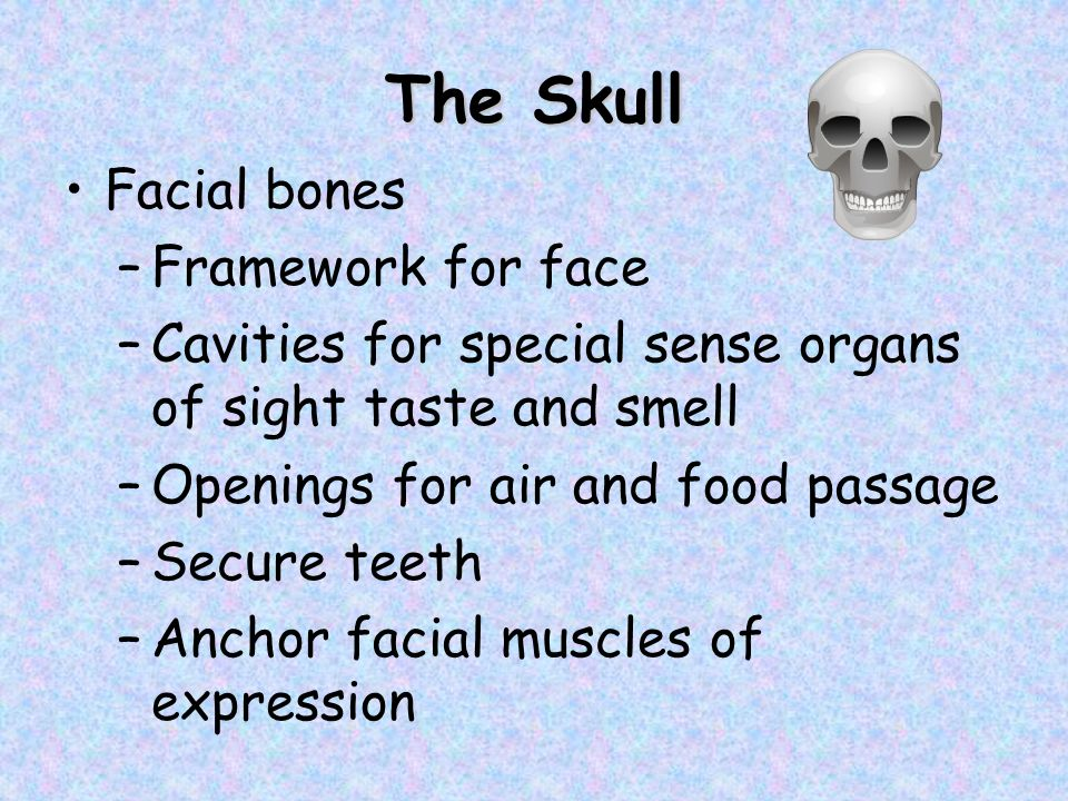 The Skull Facial bones –Framework for face –Cavities for special sense organs of sight taste and smell –Openings for air and food passage –Secure teet