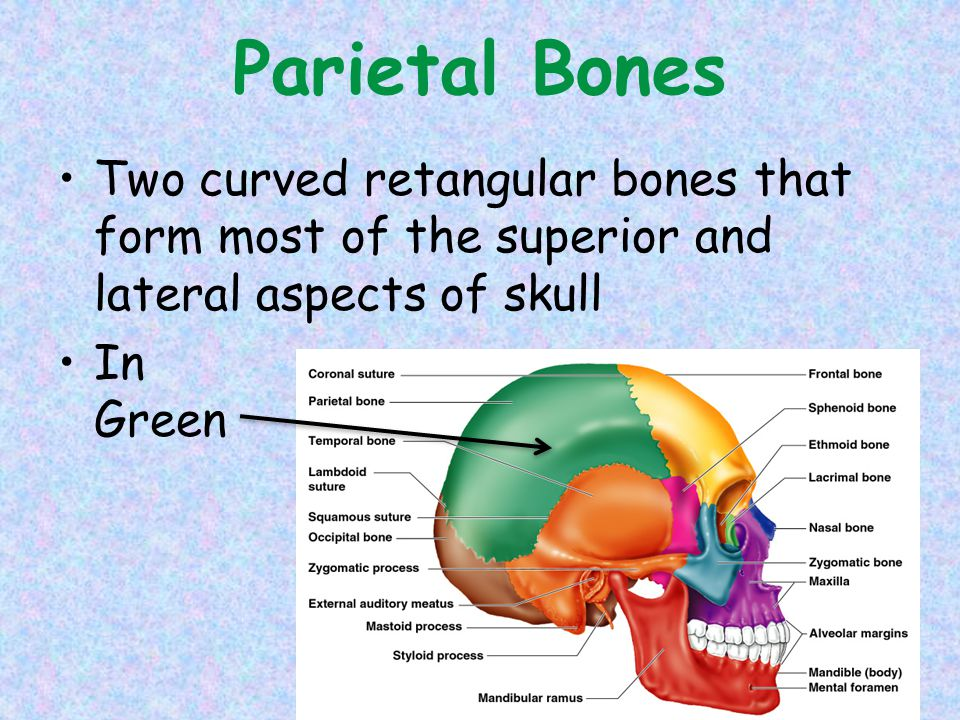 Parietal Bones Two curved retangular bones that form most of the superior and lateral aspects of skull In Green