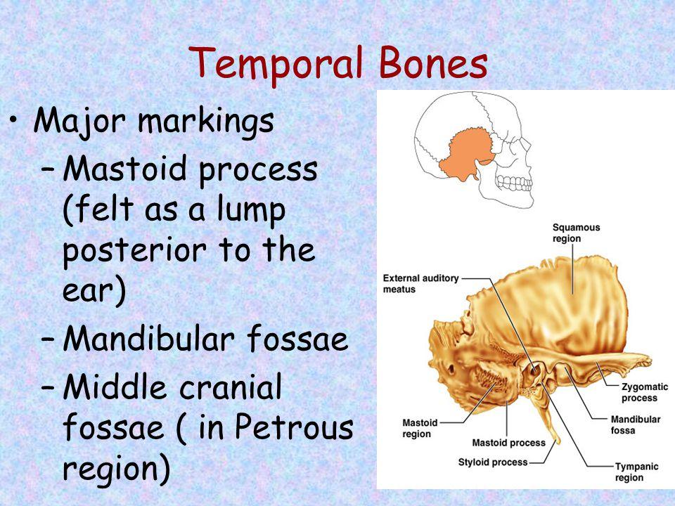 Temporal Bones Major markings –Mastoid process (felt as a lump posterior to the ear) –Mandibular fossae –Middle cranial fossae ( in Petrous region)