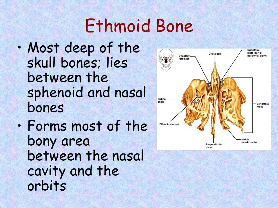 Ethmoid Bone Most deep of the skull bones; lies between the sphenoid and nasal bones Forms most of the bony area between the nasal cavity and the orbi