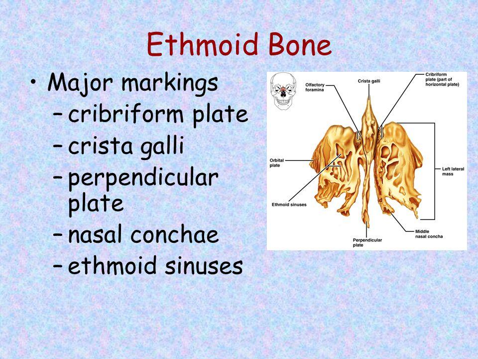Ethmoid Bone Major markings –cribriform plate –crista galli –perpendicular plate –nasal conchae –ethmoid sinuses