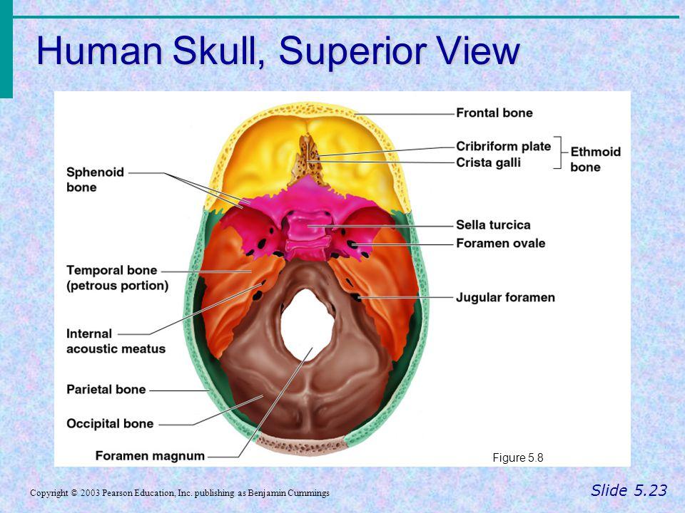 Human Skull, Superior View Slide 5.23 Copyright © 2003 Pearson Education, Inc. publishing as Benjamin Cummings Figure 5.8