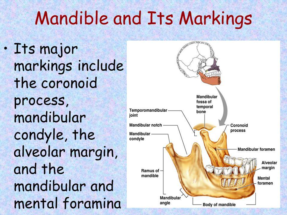 Mandible and Its Markings Its major markings include the coronoid process, mandibular condyle, the alveolar margin, and the mandibular and mental fora