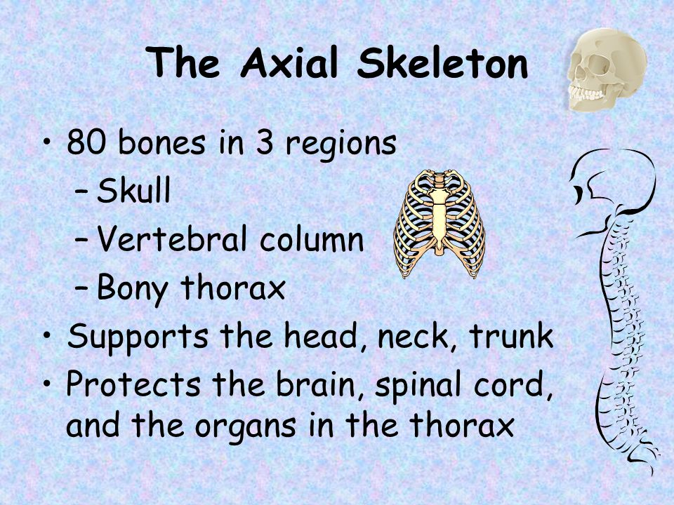 The Axial Skeleton Slide 5.20b Copyright © 2003 Pearson Education, Inc.