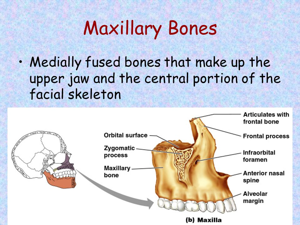 Maxillary Bones Medially fused bones that make up the upper jaw and the central portion of the facial skeleton