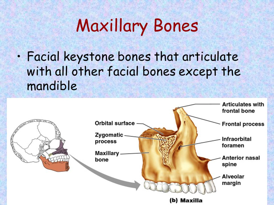 Maxillary Bones Facial keystone bones that articulate with all other facial bones except the mandible