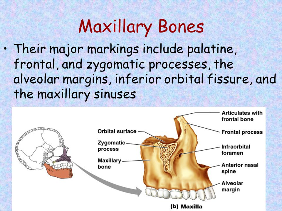 Maxillary Bones Their major markings include palatine, frontal, and zygomatic processes, the alveolar margins, inferior orbital fissure, and the maxil