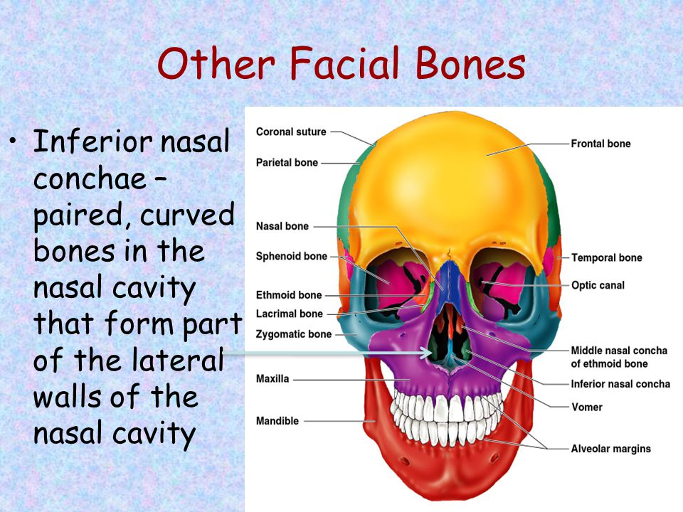 Other Facial Bones Inferior nasal conchae – paired, curved bones in the nasal cavity that form part of the lateral walls of the nasal cavity