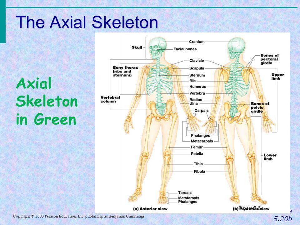 The Axial Skeleton Slide 5.20b Copyright © 2003 Pearson Education, Inc. publishing as Benjamin Cummings Figure 5.6 Axial Skeleton in Green