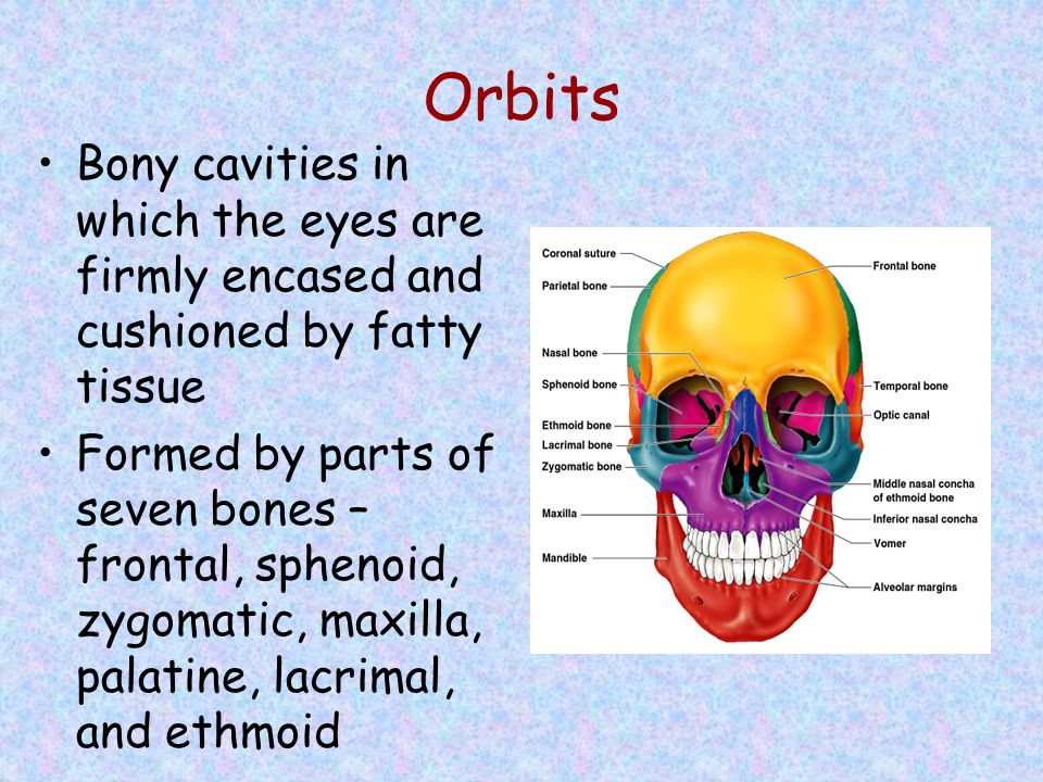 Orbits Bony cavities in which the eyes are firmly encased and cushioned by fatty tissue Formed by parts of seven bones – frontal, sphenoid, zygomatic,