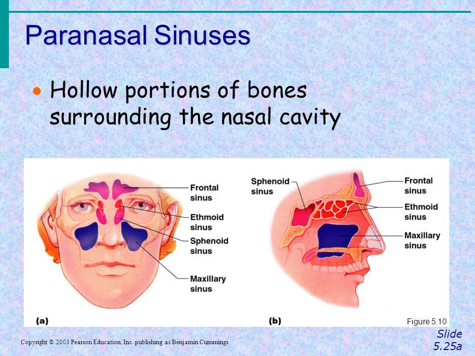 Paranasal Sinuses Slide 5.25a Copyright © 2003 Pearson Education, Inc. publishing as Benjamin Cummings  Hollow portions of bones surrounding the nasa