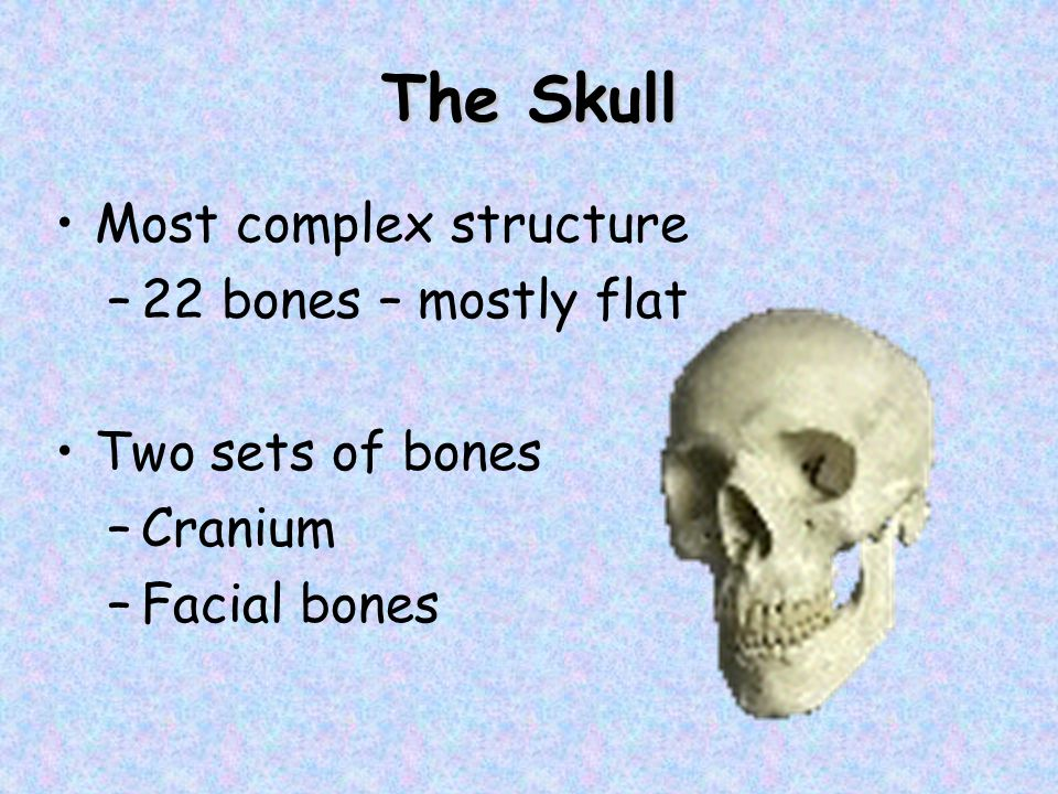 The Skull Bones are joined by sutures –Except mandible Sutures are interlocking joints – saw-toothed or serrated appearance Only the mandible is attached by a freely movable joint