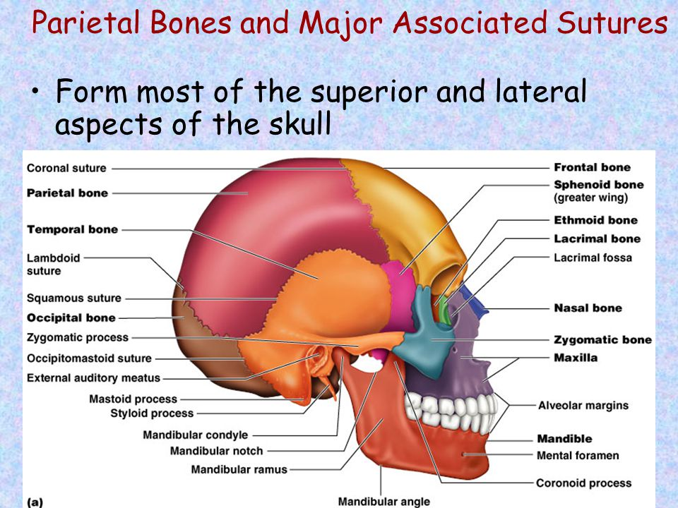 Parietal Bones and Major Associated Sutures Form most of the superior and lateral aspects of the skull Figure 7.3a