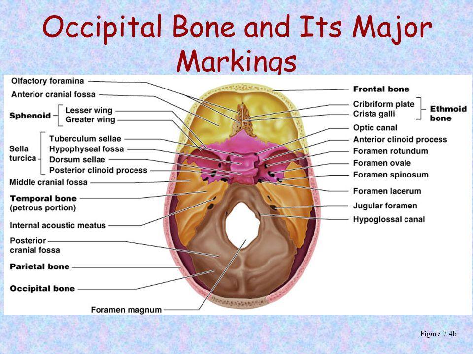Occipital Bone and Its Major Markings Figure 7.4b