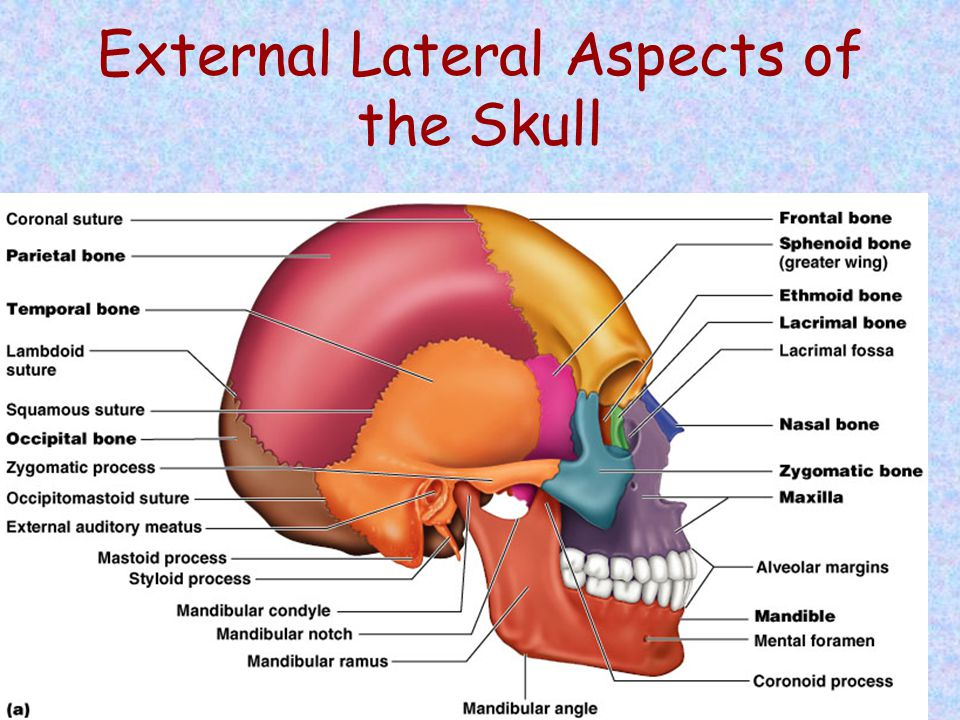External Lateral Aspects of the Skull Figure 7.3a