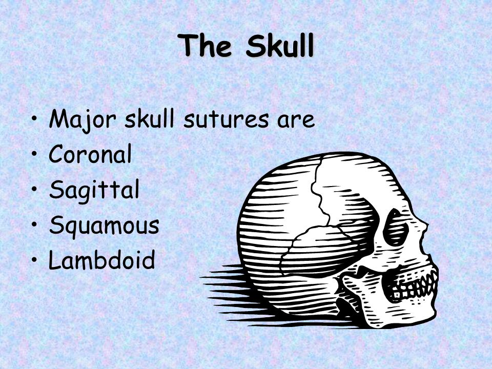 The Skull Major skull sutures are Coronal Sagittal Squamous Lambdoid