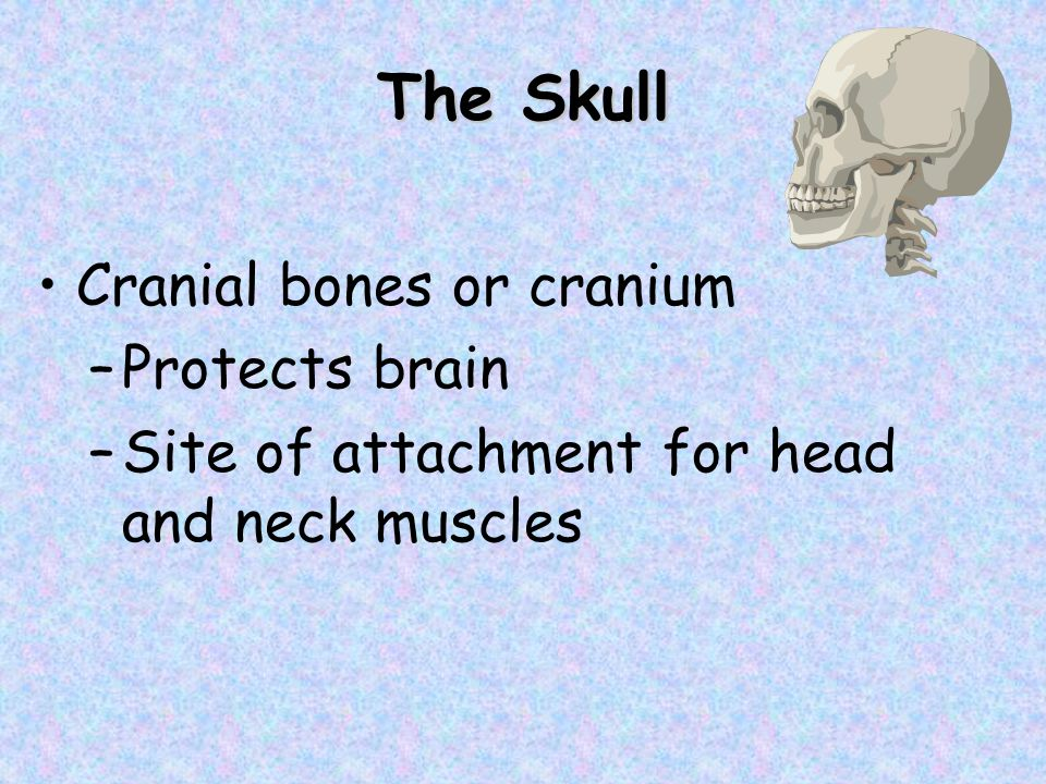 The Skull Facial bones –Framework for face –Cavities for special sense organs of sight taste and smell –Openings for air and food passage –Secure teeth –Anchor facial muscles of expression