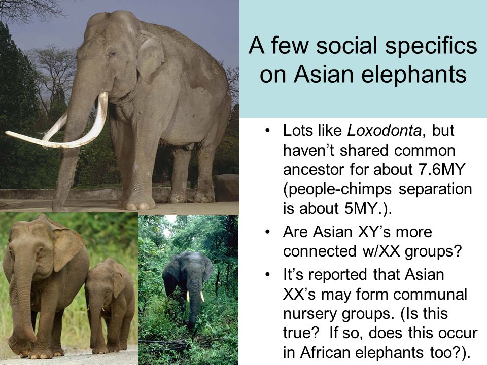 A few social specifics on Asian elephants Lots like Loxodonta, but haven't shared common ancestor for about 7.6MY (people-chimps separation is about 5MY.).