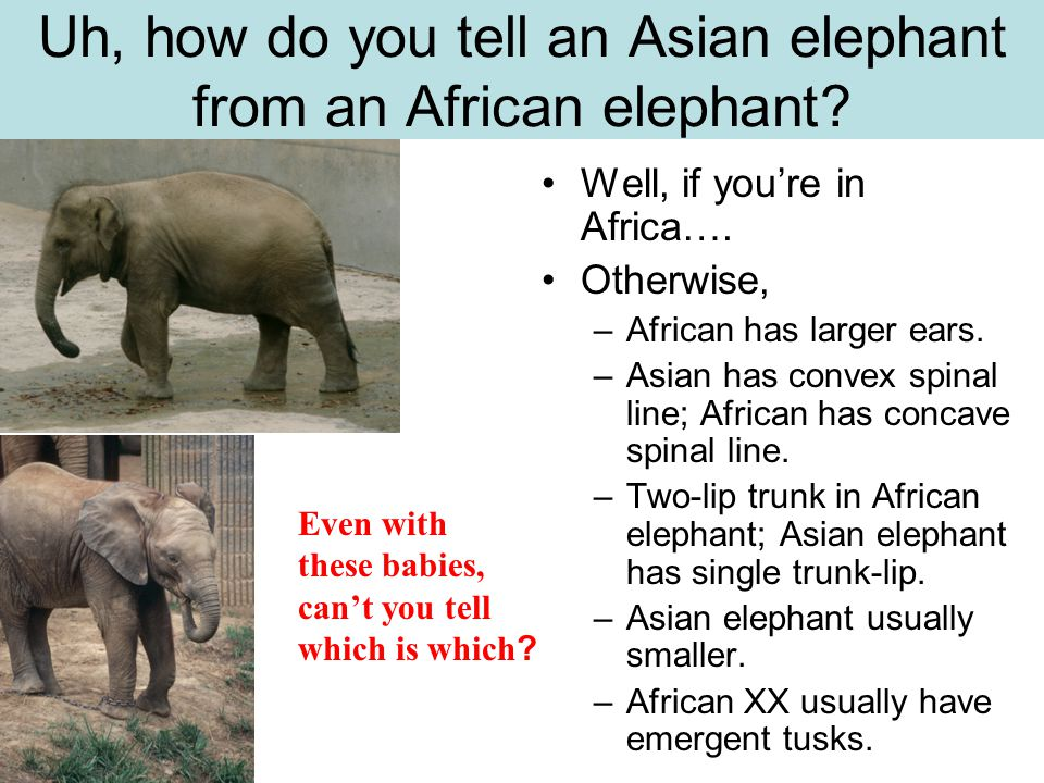 Uh, how do you tell an Asian elephant from an African elephant.
