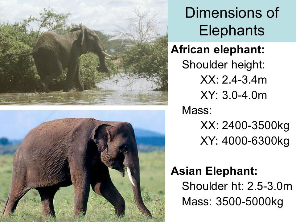 Dimensions of Elephants African elephant: Shoulder height: XX: 2.4-3.4m XY: 3.0-4.0m Mass: XX: 2400-3500kg XY: 4000-6300kg Asian Elephant: Shoulder ht: 2.5-3.0m Mass: 3500-5000kg