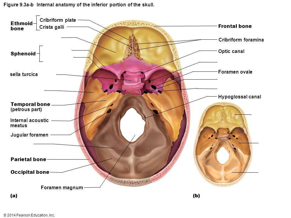 © 2014 Pearson Education, Inc. Figure 9.3a-b Internal anatomy of the inferior portion of the skull. Cribriform plate Crista galli Ethmoid bone Sphenoi