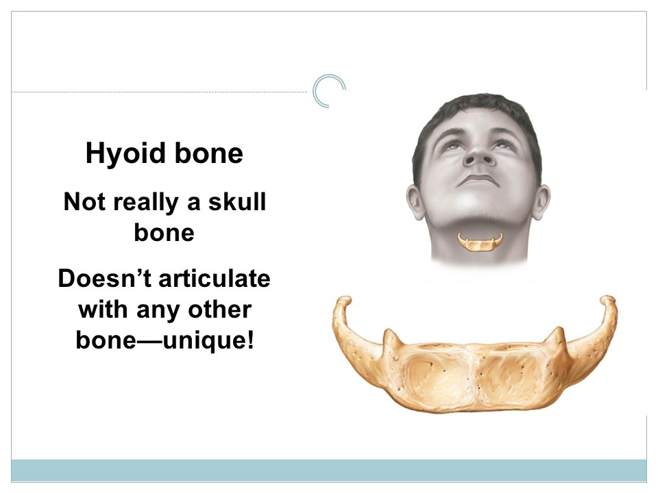 Fig. 7-12 Hyoid bone Not really a skull bone Doesn't articulate with any other bone—unique!