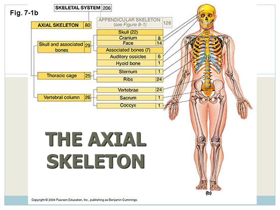 THE AXIAL SKELETON Fig. 7-1b