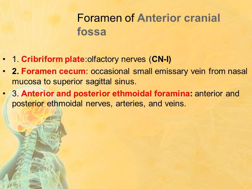 Foramen of Anterior cranial fossa 1. Cribriform plate:olfactory nerves (CN-I) 2. Foramen cecum: occasional small emissary vein from nasal mucosa to su
