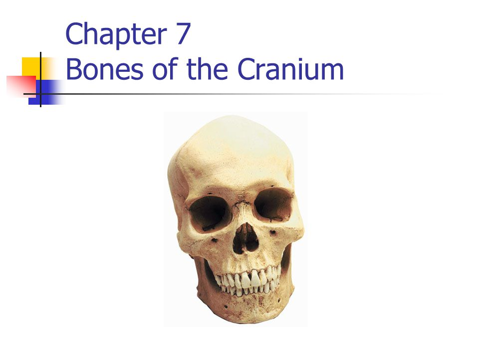 Anatomical references Process raised area / projection of bone Fossa low area / depressed area of bone Suture aka Fibrous joint Immovable joints of the skull Sinus aka (paranasal sinuses) (4 pair) hollow space in bone Makes mucus Contributes to the sound of your voice Makes bones lighter Foramen hole through bone Blood vessels and nerves pass through