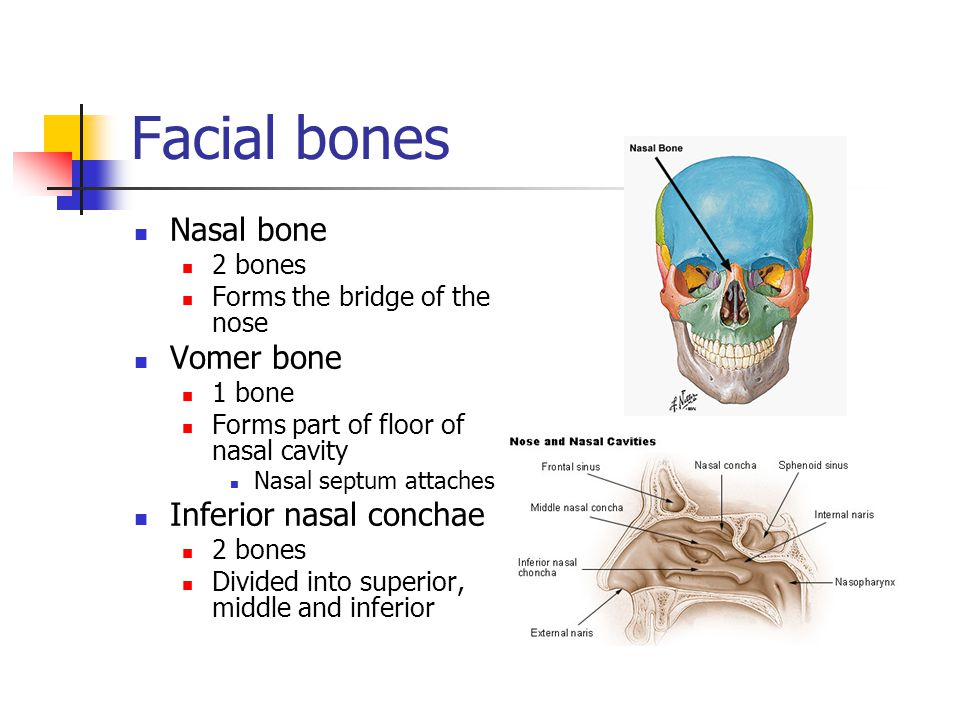 Facial bones Nasal bone 2 bones Forms the bridge of the nose Vomer bone 1 bone Forms part of floor of nasal cavity Nasal septum attaches Inferior nasa