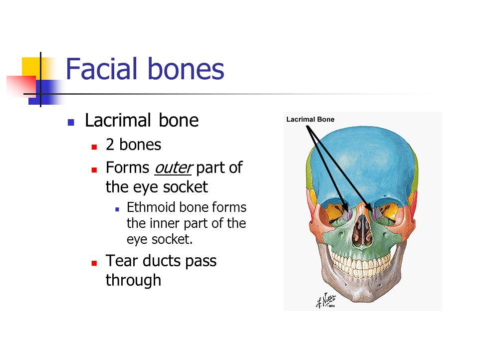 Facial bones Lacrimal bone 2 bones Forms outer part of the eye socket Ethmoid bone forms the inner part of the eye socket. Tear ducts pass through