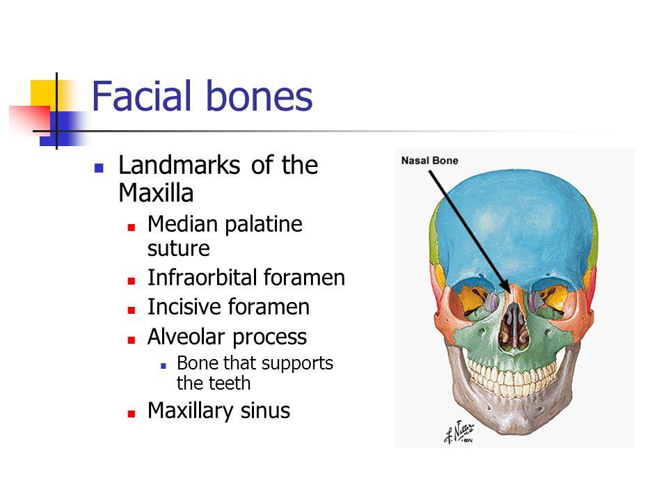 Facial bones Landmarks of the Maxilla Median palatine suture Infraorbital foramen Incisive foramen Alveolar process Bone that supports the teeth Maxil